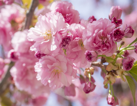 Photo pour close up beautiful perfect blooming pink sakura cherry blossom or Japanese cherry Prunus serrulata flower tree branch, selective focus, sun light, natural floral spring background - image libre de droit