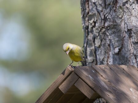 Photo pour Close up male European greenfinch, Chloris chloris sits on top of nesting box, birdhouse at larch tree trunk. Chloris chloris is passerine bird in the finch family Fringillidae. Copy space - image libre de droit
