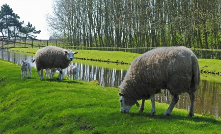 Sheeps and lambs in a meadow in Hazerswoude, The Netherlands
