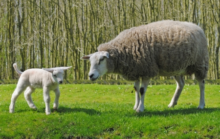 Mother sheep and her lamb in a meadow in The Netherlands