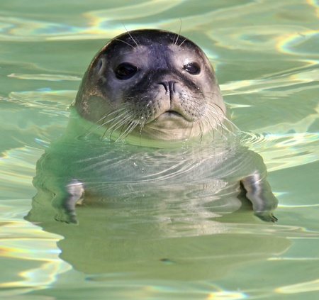 Portrait of a young harbor seal