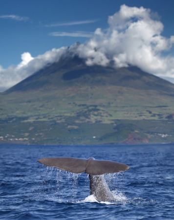 whale in front of volcano Pico, Azores islands