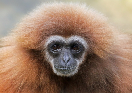 Close-up view of a female lar gibbon  Hylobates lar