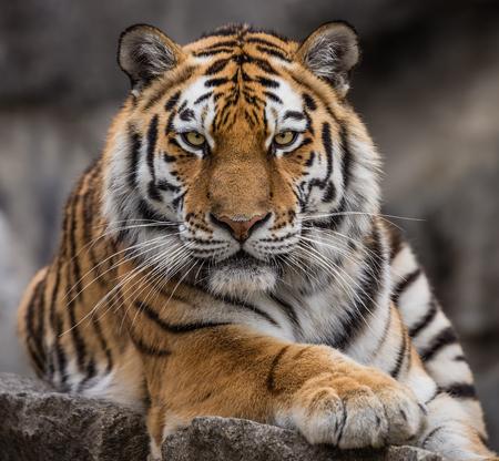 Close up view of a Siberian tiger - Panthera tigris altaica