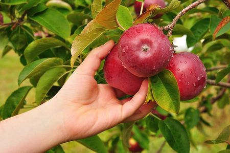 Photo pour Picking a Ripe Red Apples Covered with Raindrops - image libre de droit