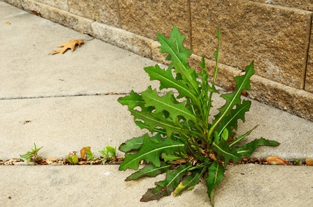 Photo for Weed (Sow Thistle - Sonchus) Growing in Crack of  Sidewalk - Royalty Free Image