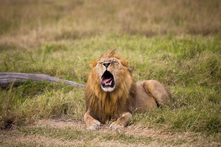 Male lion laying in grass with it's mouth open.