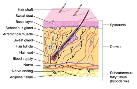 Cross section of skin showing hair follicle