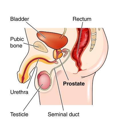 Male genitalia showing position of the prostate gland