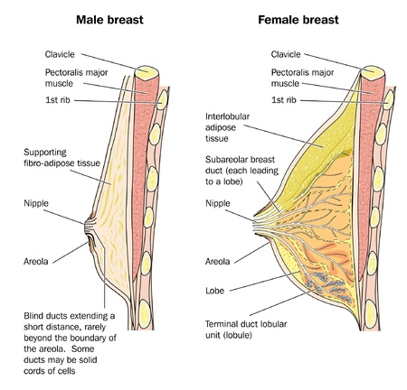 Cross section of male and female breast tissue