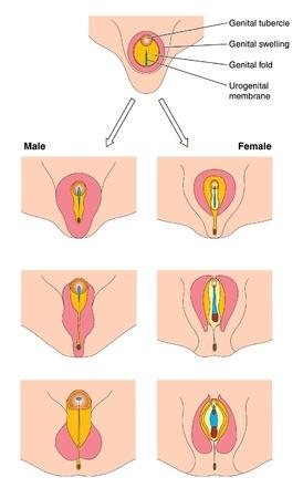 Diagram to show the fetal development of male and female genitalia
