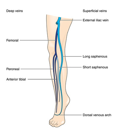 deep and superficial leg veins