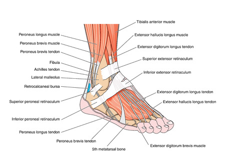 Illustration for Tendons and muscles of the foot and ankle including the bones attachments and retinaculae. Created in Adobe Illustrator.  Contains transparencies.  EPS 10. - Royalty Free Image
