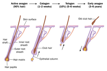 Hair growth cycle, showing active anagen phase, catagen, telogen and early anagen phases. Created in Adobe Illustrator.