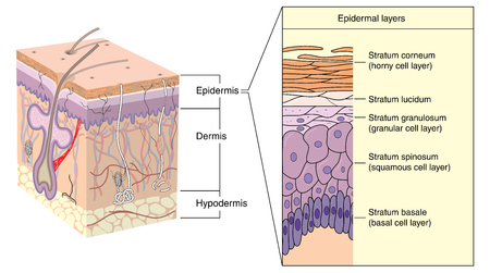 Cross section through skin, showing the various layers of the epidermis. Created in Adobe Illustrator.