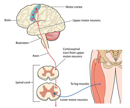 Motor nerves originating in the leg muscles traveling via the spinal cord to the motor cortex or the brain.