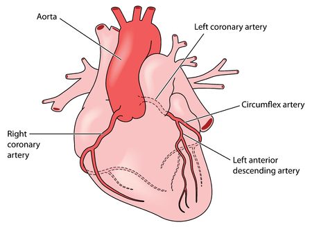 The coronary arteries of the heart, anterior view, including the left anterior descending artery. Created in Adobe Illustrator. EPS 10.