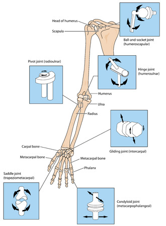 Various types of joint, illustrated by the joints of the upper limb from the scapular to the fingers. Created in Adobe Illustrator.  EPS 10.