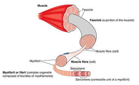 Illustration pour Anatomy of a muscle from gross structure to the level of the myofibril and sarcomere - image libre de droit