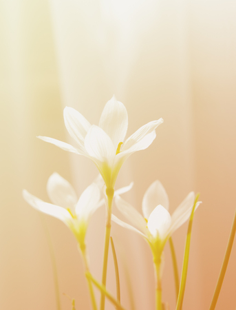 floral blur background, flowers rain lily zephyranthes white,  toned, soft light