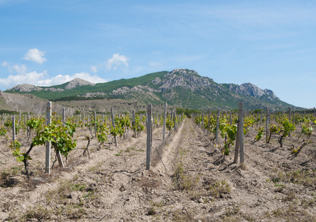vineyards in Sunny (Kozsky) valley, Crimea