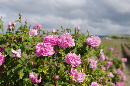 field of blooming crimean pink Damask roses, rose bush closeup, local focus, shallow DOF