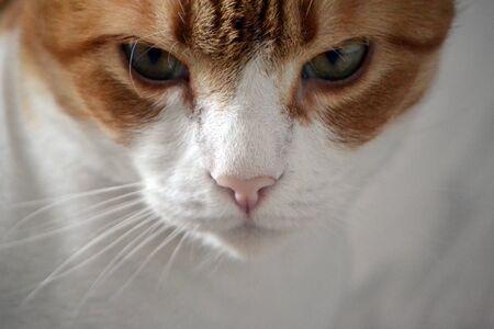 Photo pour Portrait of Ginger Tomcat. Front view - image libre de droit