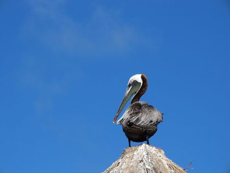 pelican pruning himself on the top of a tiki hut