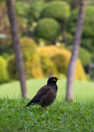 The common myna (Acridotheres tristis) green grass feild with copy space