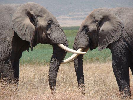 2 elephants in Ngorongoro Crater Tanzania