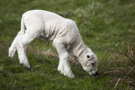 Small Sheep lamb - Shaun - Small white lamb is eating grass on the meadow. The grassland or greenfield sheep lamb is fresh and taste good