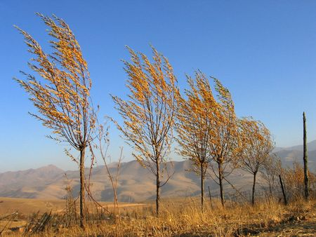 Trees in the field under srong wind. Uzbekistan, fall 2007