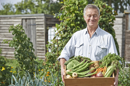 Photo pour Senior Man On Allotment With Box Of Home Grown Vegetables - image libre de droit