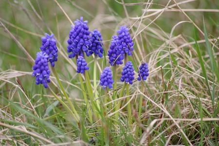Grape hyacinth in grass