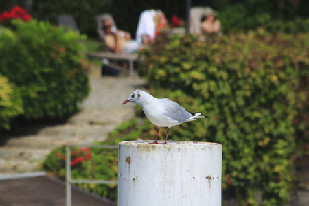 Gull sit on a mole on the shore of Lake Como in Italy,