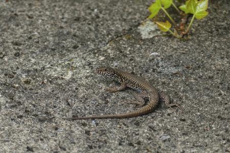 Ruins lizard, small saurian creeps on an old wall along