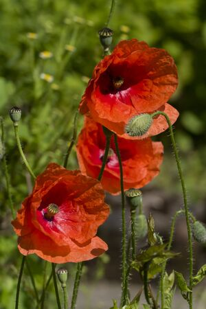Red poppy, clap on a meadow in summer