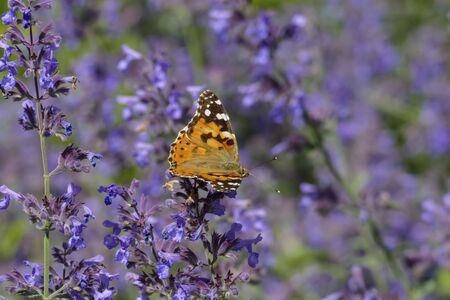Thistle butterfly in orange with white, brown spots, on a sage blossom