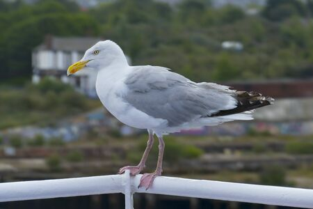 Photo for Cheeky seagull sits fearlessly on the ferry's railing, in background Newcastle upon Tyne - Royalty Free Image