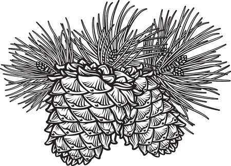 Illustration pour Vector hand drawn black and white  illustration of two pine cones with needles - image libre de droit