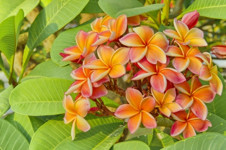 orange Frangipani or Plumeri
