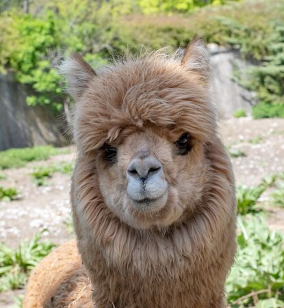 Photo pour The Alpaca (Vicugna pacos) is a species of South American camelid, similar and often confused with the llama. However, alpacas are often noticeably smaller than llamas - image libre de droit
