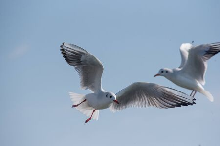 Photo pour Flying seagull on a background of blue sky - image libre de droit