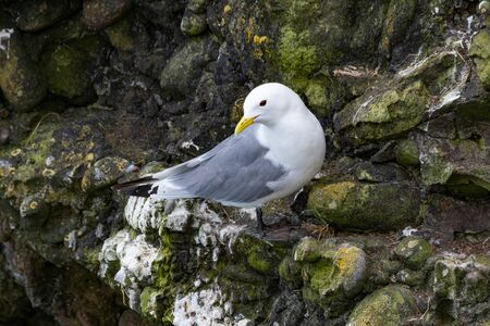 Photo pour Kittiwake (Rissa tridactyla) on the cliffs of the Isle of May - image libre de droit