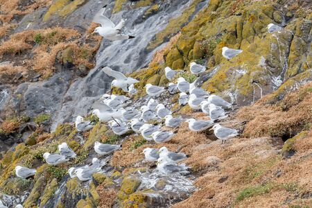 Photo pour Nesting Kittiwakes (Rissa tridactyla) on the sea cliffs on the Isle of May - image libre de droit