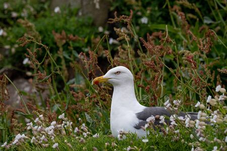 Photo pour Slightly smaller than a herring gull, the lesser black-backed gull has a dark grey to black back and wings, yellow bill and yellow legs. Their world population is found entirely in Europe. - image libre de droit