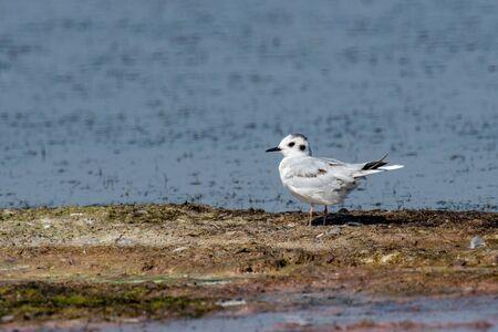 Photo pour Detailed portrait of  Little Gull (Larus minutus) - image libre de droit