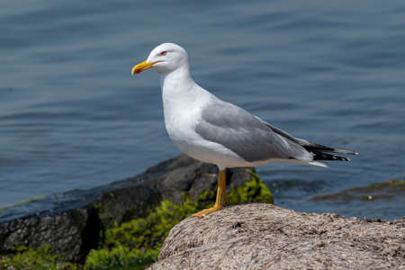 Photo for Portrait of yellow-legged gull (Larus michahellis) bird in natural environment - Royalty Free Image