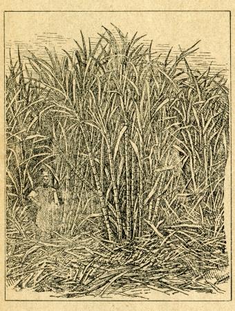 Sugar cane field - old illustration by unknown artist from Botanika Szkolna na Klasy Nizsze, author Jozef Rostafinski, published by W.L. Anczyc, Krakow and Warsaw, 1911