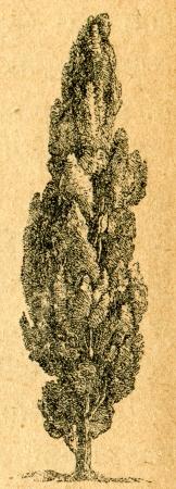 Cypress - old illustration by unknown artist from Botanika Szkolna na Klasy Nizsze, author Jozef Rostafinski, published by W.L. Anczyc, Krakow and Warsaw, 1911